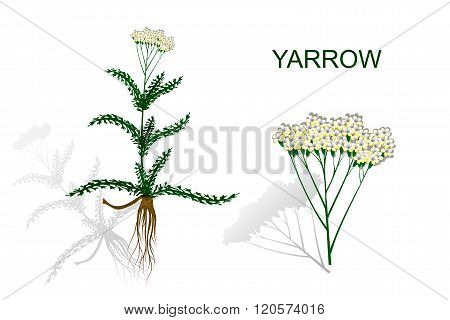 the Botanical image of the yarrow roots and inflorescence.