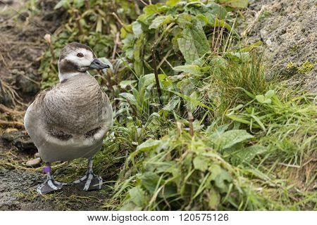 Portrait Of Harlequin Duck Histrionicus Histrionicus