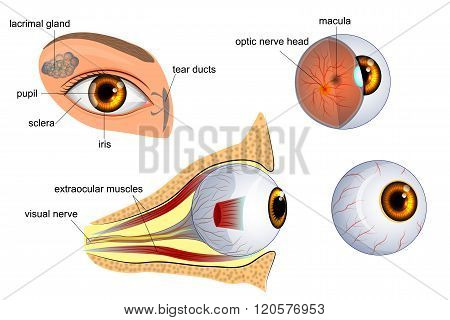 anatomical illustration of the eye. the eyeball entirely and in the contex