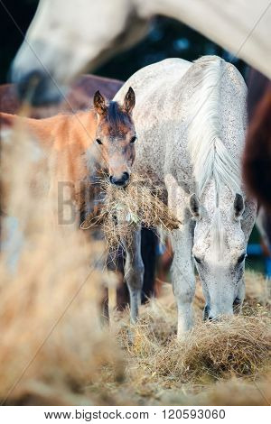Arabian mare with foal eating hay outdoor
