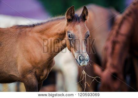 Foal eating hay