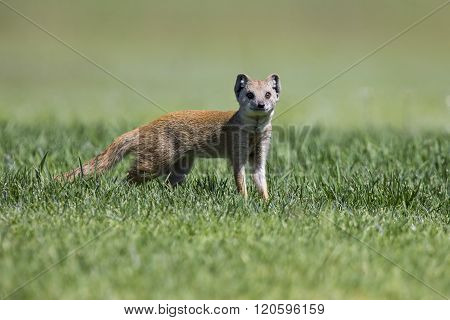 Yellow Mongoose Hunting For Prey On Short Green Grass