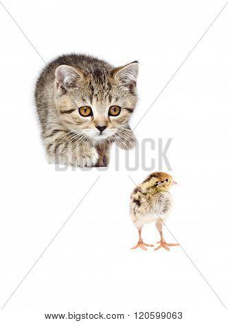 Cute kitten Scottish Straight hunts quail chick