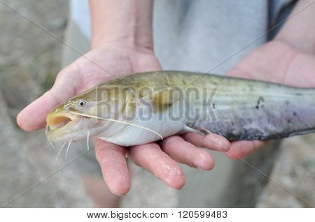 Fisherman Showing Catch