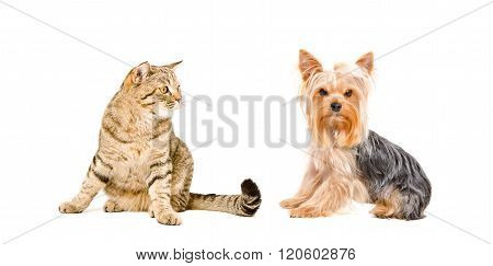 Cat Scottish Straight and Yorkshire Terrier