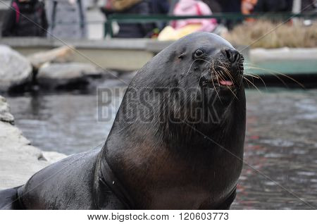 Seal Mammal Animal
