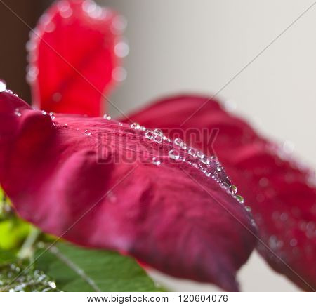 Poinsettia Leaves With Drops Of Dew