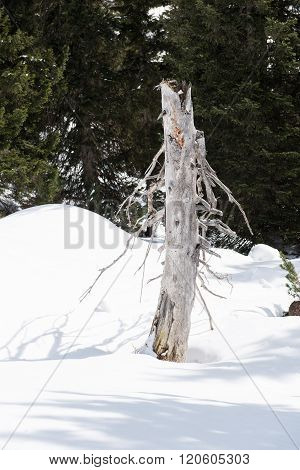 Dead Tree In The Apls Standing In The Snow