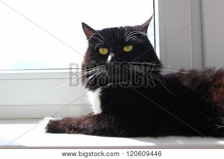 cat lays at the window