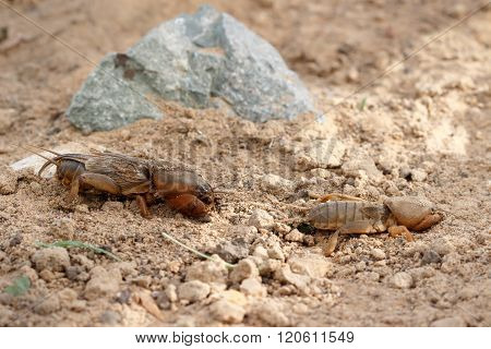 Closeup Two  European Mole Cricket  Running Along The Ground