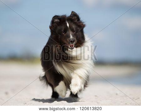 Shetland Sheepdog Running Outdoors In Nature