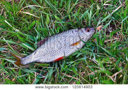 Fish Roach (rutilus Rutilus) Lies On The Grass Close Up