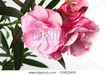 Oleander Flower With Green Leaves