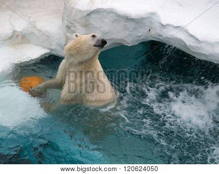 Northern White Bear Cheerful