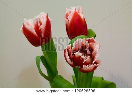 White And Red  Tulips On The Light Background