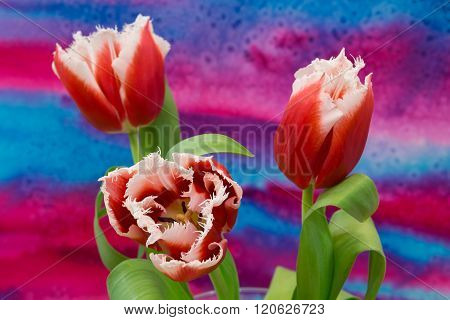 White And Red  Tulips On The Bright Background