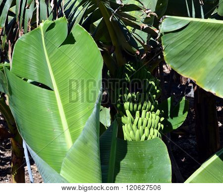Banana plantation On La Palma. Canary Islands. Spain.