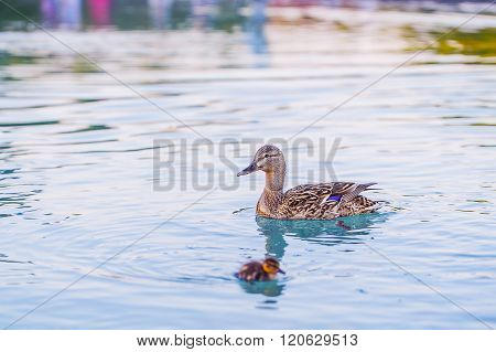 Duck and baby duckling in the water