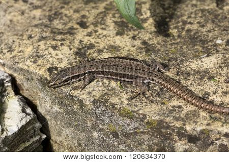 Podarcis muralis, Common wall lizard from Germany