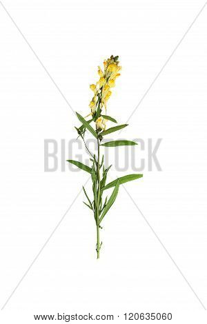 Pressed And Dried Delicate Flower Linaria Vulgaris On Stem With Green Leaves.