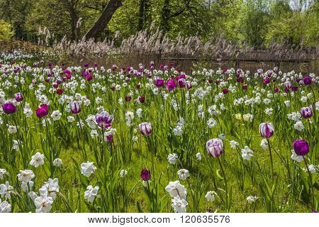 Spring flower meadow with tulips and lent lilies in Lower Saxony, Germany, Europe