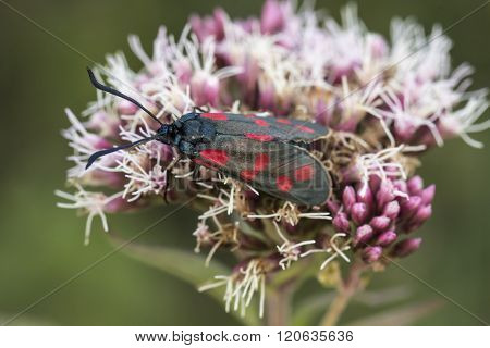 Zygaena filipendulae, Six-spot Burnet butterfly from Lower Saxony, Germany