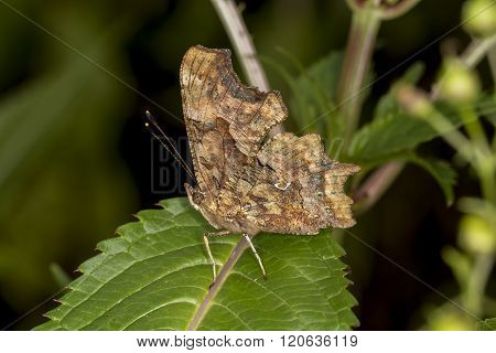 Nymphalis c-album, Polygonia c-album, Comma butterfly from Germany