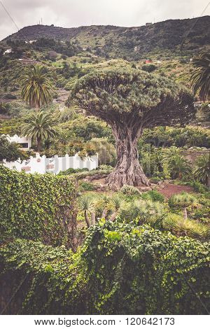 Famous Dragon Tree Drago Milenario In Icod De Los Vinos Tenerife, Canary Islands