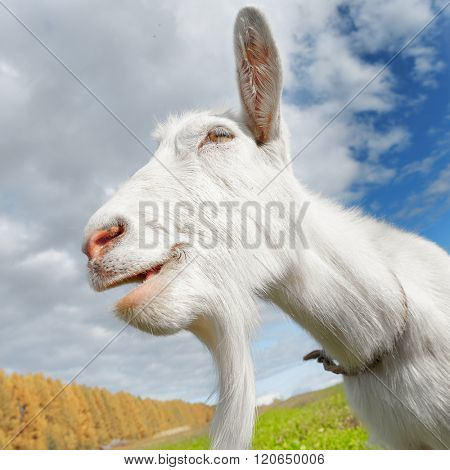 Happy smiling goat on the green meadow in a sunny day