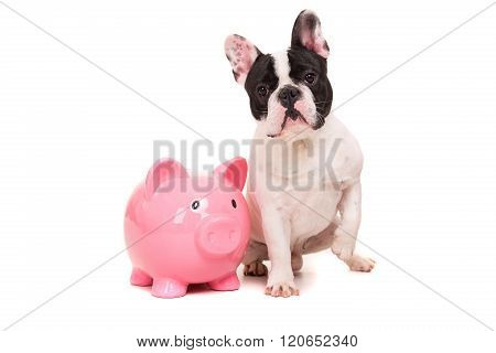 French Bulldog puppy saving money for vacations