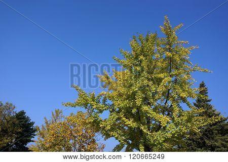 Close Up Ginkgo Tree