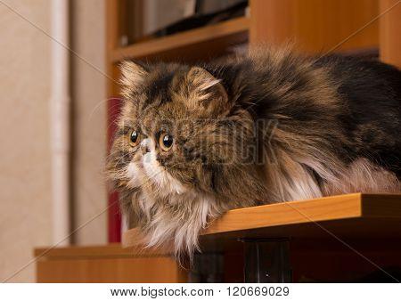 Persian Kitten Of Dark Coloring