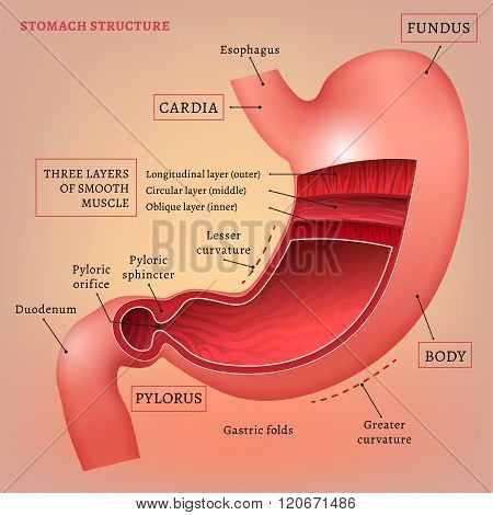 Vector Stomach Image