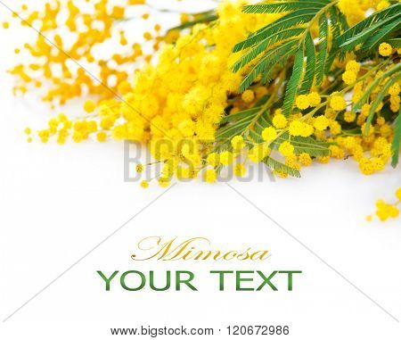 Mimosa spring flowers branch border isolated on a white background. Bouquet of beautiful yellow fresh mimosa. Easter Border design. Mother's Day