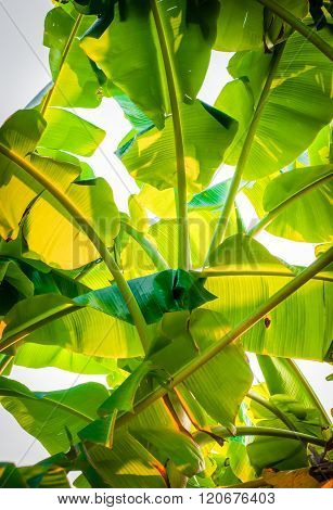 Green Banana Leaves Of A Banana Tree