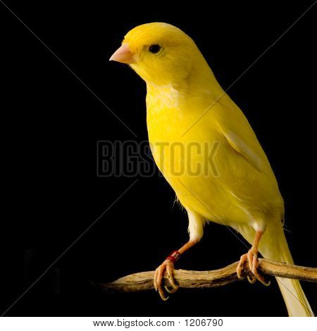 Yellow Canary On Its Perch
