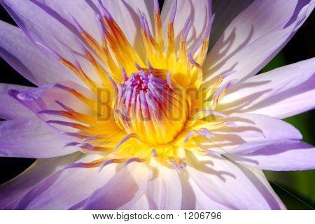 Egyptian Blue Lotus Flower