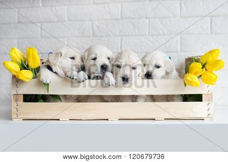 four puppies in a box with tulips