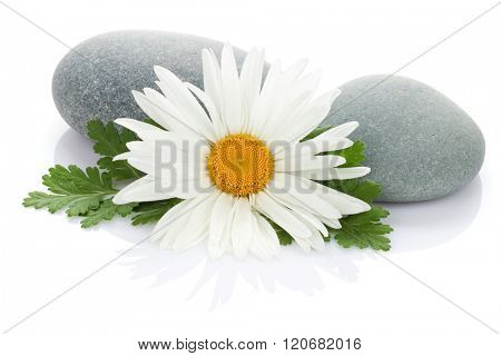 Daisy camomile flower and sea stones. Isolated on white background