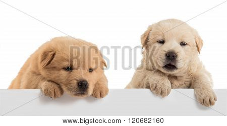 Fluffy Chow-chow puppy isolated on white background