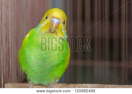 Yellow Green Budgerigar