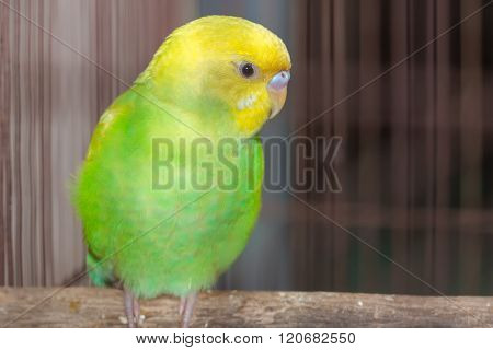Yellow Green Budgerigar