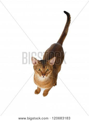Abyssinian Cat Before Jumping, Top View, Isolated On White
