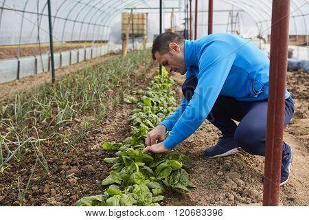 Farmer Harvesting Spinach