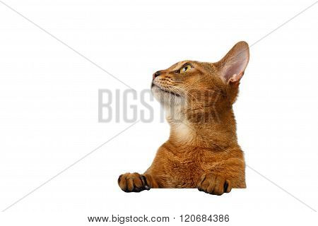 Closeup Abyssinian Cat Front Desk With Paws And Looking Up