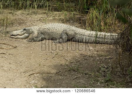 Alligator Basking In The Sun  In The Florida Everglades