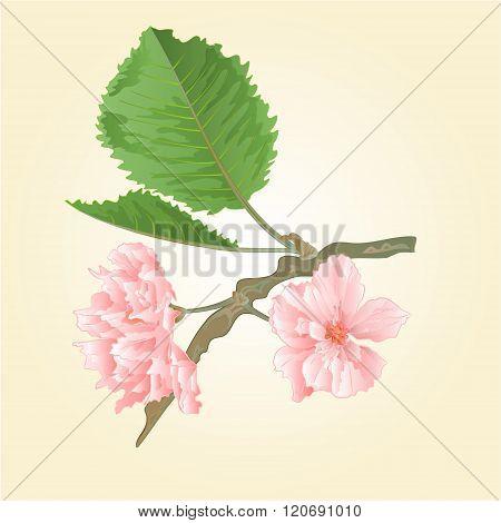 Sakura Spring Background Vector