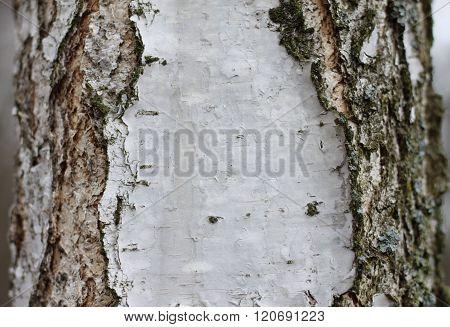 birch bark texture background paper close up