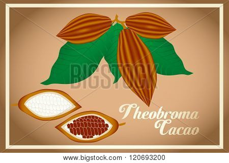 Cacao Fruits And Leafs - Theobroma Cacao