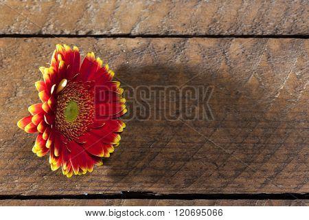 Bicolor Red Yellow Gerbera Daisy, On Wood Board